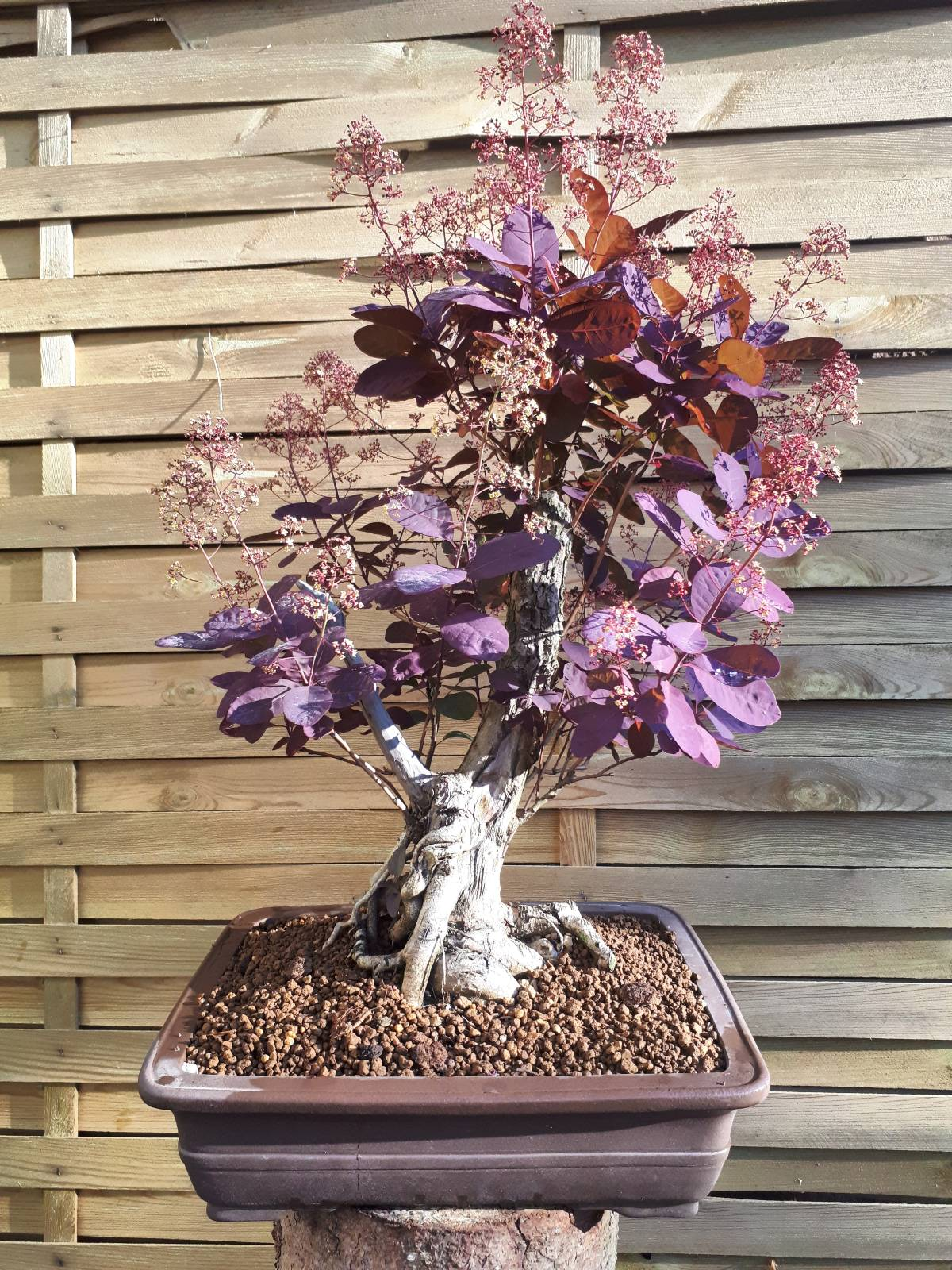 "Cotinus coggygria ""Royal Purple"" - Perückenstrauch"
